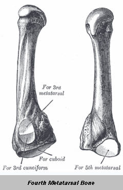 4th Metatarsal Bone